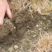 Typical Grass Grub damage in a Canterbury Pasture