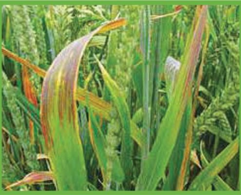 BYDV symptoms in a wheat crop
