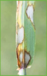 Luisetti_Scald Resistance in Barley
