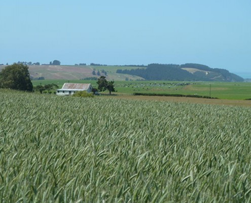 SF Bolt Forage Triticale