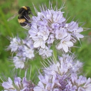 A honey bee approaches a Phacelia flower