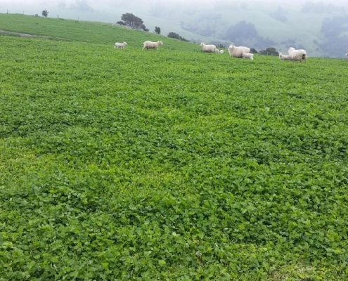 Ewes and lambs grazing Antas sub clover and Kakariki white clover, Banks Peninsula