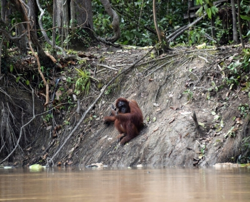 A wild orangutan in Borneo. The orangutan sits on the riverbank of a brown river in the rainforest