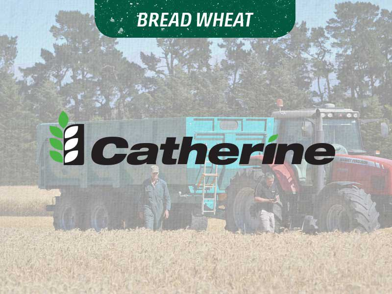 Bread Wheat - Catherine