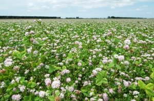 Moa Persian clover is ideal as a companion clover for Italian ryegrass, Intimidator Oats or Maimai Ryecorn