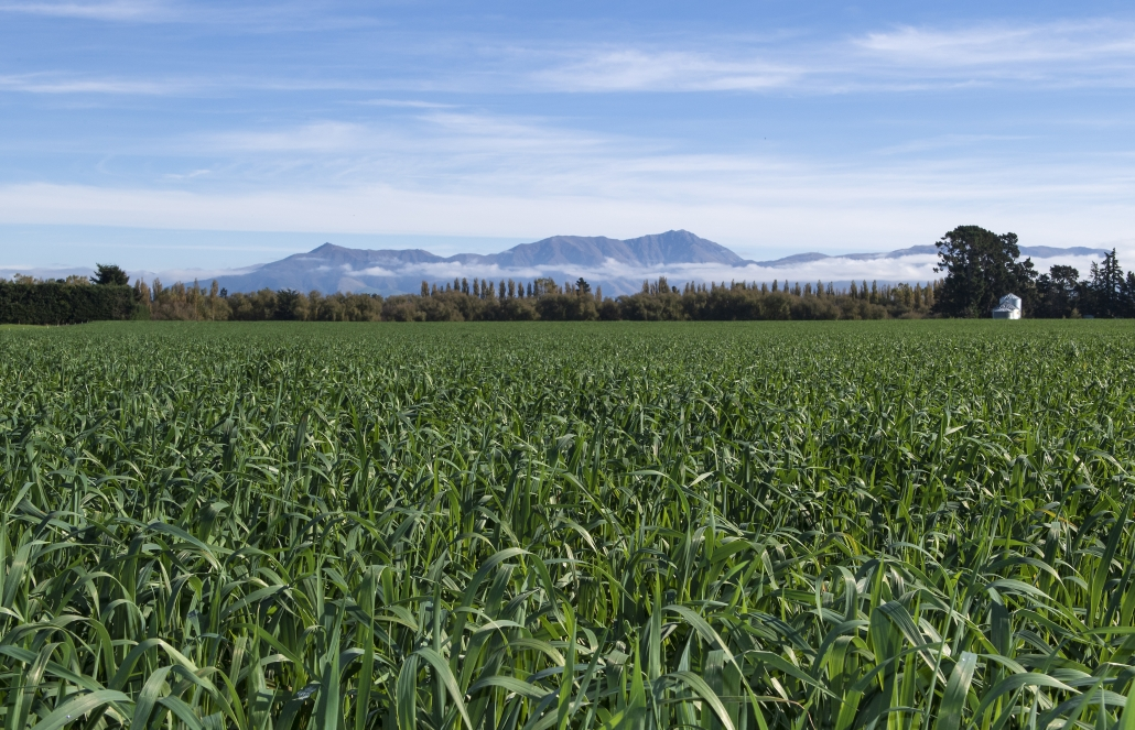 Intimidator oats generate a large bulk of quality feed over winter and can be used for cereal silage in summer.