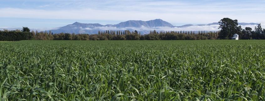 In a recent catch-crop trial , Intimidator oats generated a gross profit of $1800/ha.