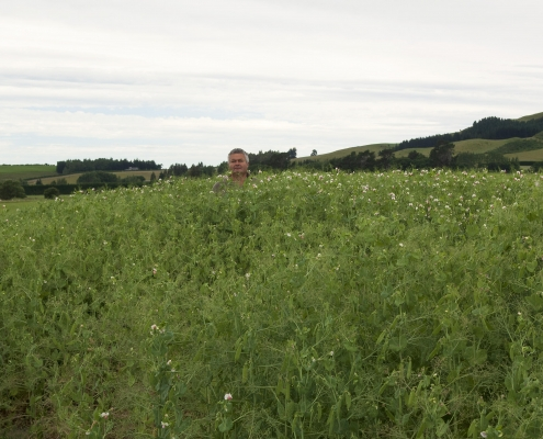John McCaw ( six foot in his slippers) stands in a paddock of Provider Peas at Sheffield.