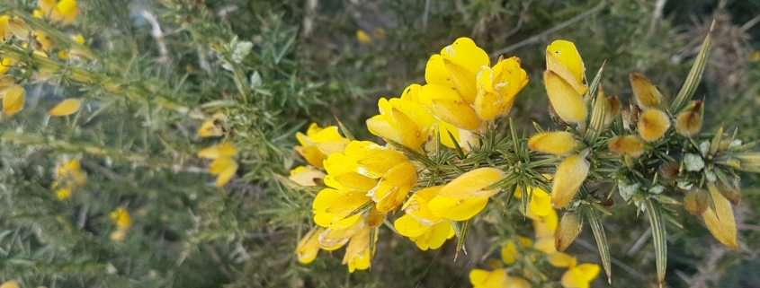 Close up of gorse bush showing spikes and yellow flowers