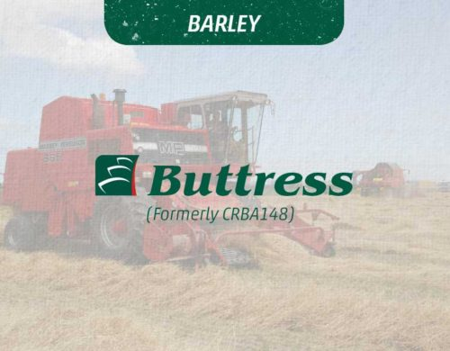 Buttress Barley's Paddock Performance Reflects Outstanding Trial Results