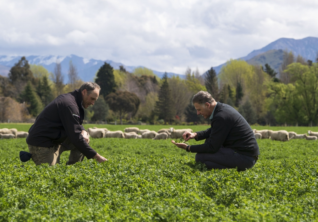 Mark Zino with Luisetti Seeds North Canterbury agent Andrew Johnston in a lucerne paddock. In the background are a large flock of healthy sheep.