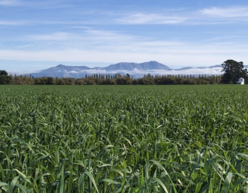 Catch crops proving a win for environment and bank balance