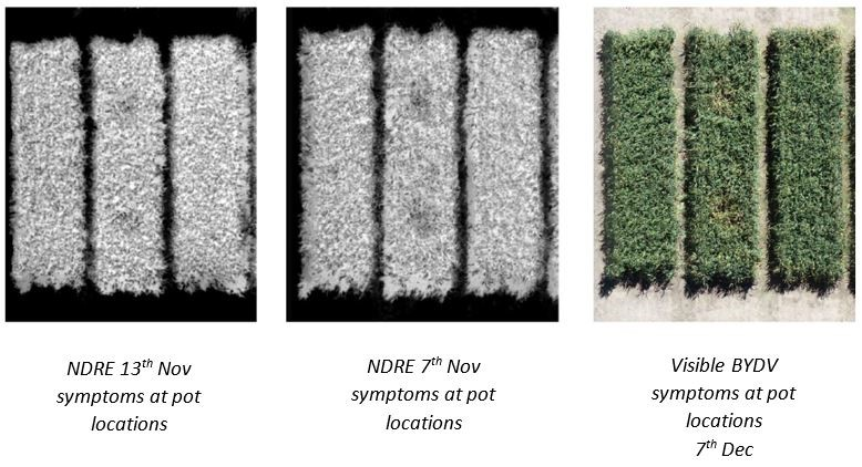 Side by side images showing visual and NDRE symptoms of BYDV in untreated plots of Viceroy vs insecticide-treated plots vs untreated Viceroy-Bdv2. Viceroy-Bdv2 plots show fewer BYDV symptoms.